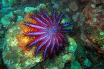 39_Crown-of_thorns_starfish_(Acanthaster_planci)_at_Barren_Island_(Lenz_Gunther)