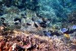 42_Acropora-reef_at_Barren_Island_(Lutz_Brigitte)