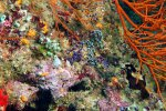 19_Lots_of_ascidians_and_coralline_red_algae_in_the_shade_(viele_Ascidien_und_Kalkrotalgen_im_Schatten)-Ari