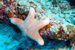 57_Cushion_sea_star-Choriaster_granulatus_(Gekörnter_Kissenseestern)-Meemu_North_Kandu