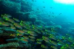 73_Yellowstripe_snapper_in_beautiful_reef-Lujanus_kasmira_(Blaustreifen-Schnapper)-Hangrandhoo_North-Gaafui
