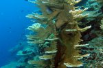 82_Funny_coral_growth_of_this_Acropora-Hangrandhoo_north-Gaafu