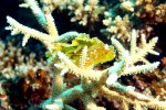 85_Our_little_critter_the_leaf_scorpionfish-Taenianotus_triacanthus_(Schaukelfisch)-Hagrandhoo_South-Gaafu