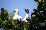06_red-footed_booby_(Sula_sula)_right_before_mating