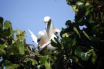 07_red-footed_booby_(Sula_sula)_mating