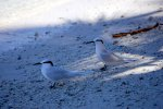 19_black-naped_tern-Sterna_sumatrana