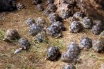 21_Lots_of_juvenile_radiated_tortoises_(Astrochelys_radiata)