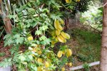 40_Starfruit_or_Carambola_tree_(Averrhoa_carambola)_in_the_garden_of_our_friends_Christell_and_Dominik