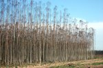 03_Grown_eucalyptus_trees_in_Zululand_waiting_to_be_cut