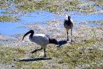 22_African_sacred_Ibis_(Threskiornis_aethiopicus-Heiliger_Ibis)_looking_for_sea_slugs_at_low_water_(Knysna)