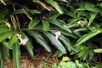 35_Ginger_plants_(Alpinia_speciosa-Ingwer)_blooming