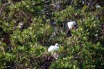 08_Red-footed_Booby_chick_and_mother-Sula_sula_(Rotfuss-Toelpel)