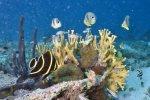 02_Assembly_of_fire_corals_sponge_anemones_butterfly_and_angelfish