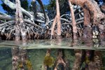 12_Mangrove_roots_growing_in_the_water