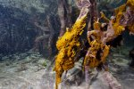 14_Fire_corals_growing_on_mangrove_roots