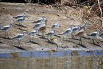 16_Willets_(mainly_Catoptrophorus_semipalmatus)_at_Isla_Canas
