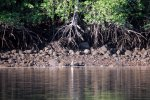 40_Egrets_sitting_at_the_waterline_(mangrove_forest_Pedregal)