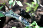 33_Our_first_Darwin_finch_which_is_probably_a_small_Ground_Finch_(Geospiza_fortis-KLeiner_Grundfink)