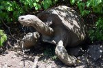 51_A_muddy_giant_San_Cristobal_tortoise_sitting_under_a_poison_apple_tree