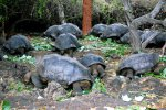 05_Giant_Galapagos_Tortoises_(Chelonoides_sp-Galapagos-Riesenschildkröte)_with_a_dome-shaped_carapace_have_feeding_time_at_the_breeding_center_CDRS