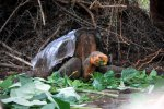 06_A_Galapagos_Giant_Tortoise_(Chelonoides_hoodensis)_with_a_pronounced_saddleback