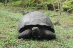 22_There_are_about_3000_dome-shaped_tortoises_(Chelonoides_nigrita)_living_on_Santa_Cruz_again