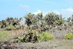 33_Instead_of_trees_you_find_lots_and_lots_of_Giant_Prickly_Pear_Cactus_or_Opuntia_(Opuntia_echios_var_gigantea-Opuntie)