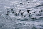 62_The_Galapagos_Shearwater_(Puffinus_galapagensis-Galapagos-Sturmtaucher)_are_running_at_the_surface_of_the_water_which_looks_like_dancing
