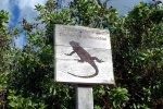 16_Marine_Iguana_crossing