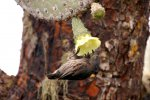 54_Cactus_Ground_Finch_(Geospiza_scandens-Kaktus-Grundfink)_feeding_on_a_flower_of_an_Opuntia_Cactus