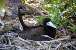 02_Brown_booby_sitting_on_his_eggs_(Sula_leucogaster-Weissbauchtoelpel)