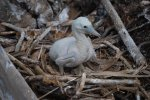 07_Two_to_three_week_old_chick_of_a_Brown_Booby