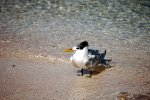 30_Young_Greater_Crested_Tern_resting_on_the_sand