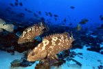 01_Thousands_of_Camouflage-Groupers_(Epinephelus_polyphekadion-Getarnter_Zackenbarsch)_meet_in_the_south_pass_of_Fakarava