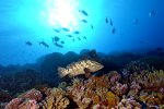 08_Grouper_on_the_reef_with_Travallies_swimming_above