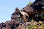 50_One_of_many_wild_goats_roaming_the_islands_which_help_the_erosion