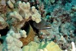 10_Whitemouth_moray_eel_(Gymnothorax_meleagris-Weissmaulmuräne)