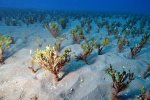 12_A_field_of_Halimeda_algae_trees_at_coral_garden