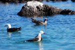 22_We_also_saw_non-breeding_Heermanns_Gulls_on_the_island