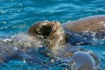 05_Playful_young_Sealions_around_the_boat