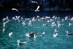 32_Many_Heermanns_Gulls_just_sitting_on_the_water_and_fishing_for_the_crabs
