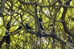 14_Noddies_often_build_many_nests_in_one_tree