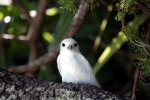 20_White_Tern_watching_us