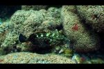 Endangered Dusky groupers in the only mediterranean Coral Reef (Mljet, Croatia)
