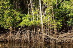 Mangrove trees of the genus Rhizophora