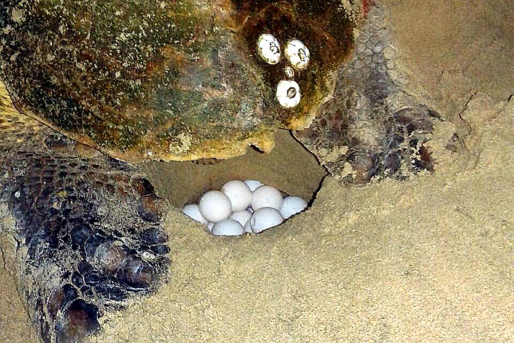 Loggerhead turtle eggs