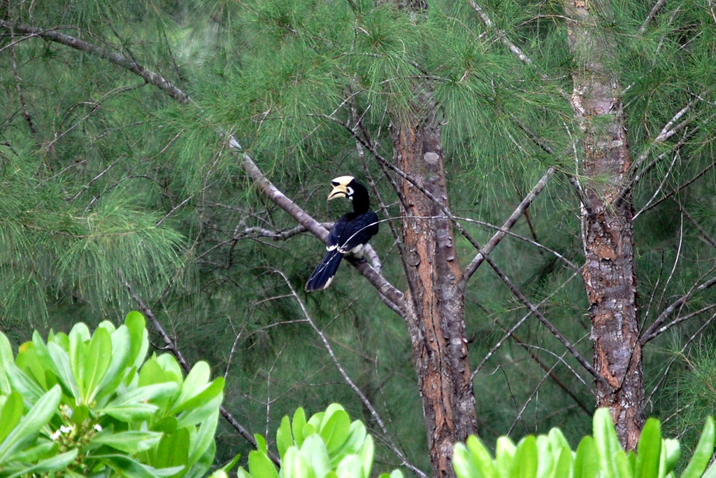 an oriental-pied hornbill spotted in the trees close to the spring (Anthracoceros albirostris)